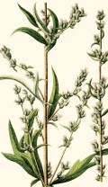 Mugwort Illustration