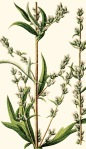 Mugwort-Illustation (1)