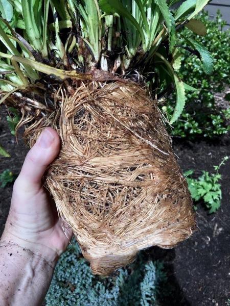 Root-bound plant